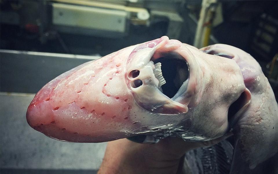 Dybhavsfisker-viser-de-monstre,-han-hiver-opad-havet_11