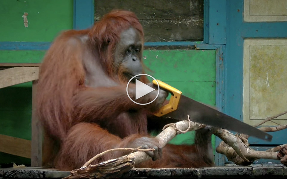 Orangutang-er-en-mester-med-fukssvansen_1