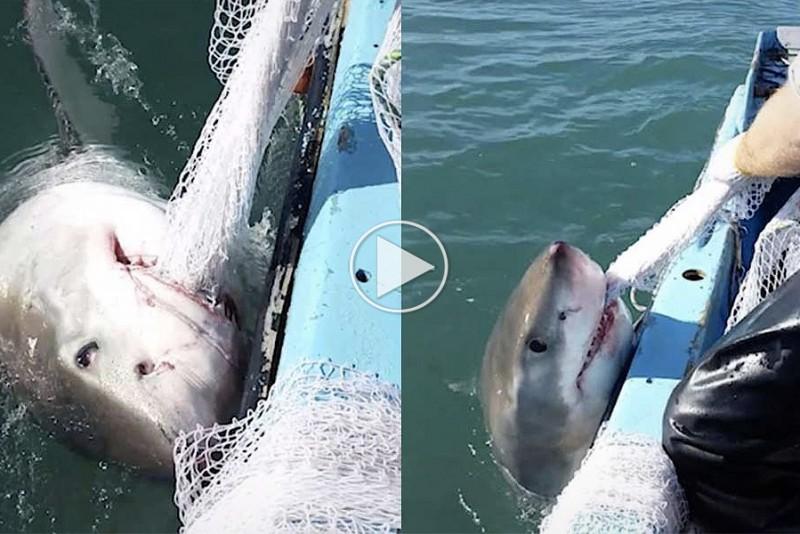 Fisker-kamper-mod-en-Hvid-Haj-i-tovtrakning_1