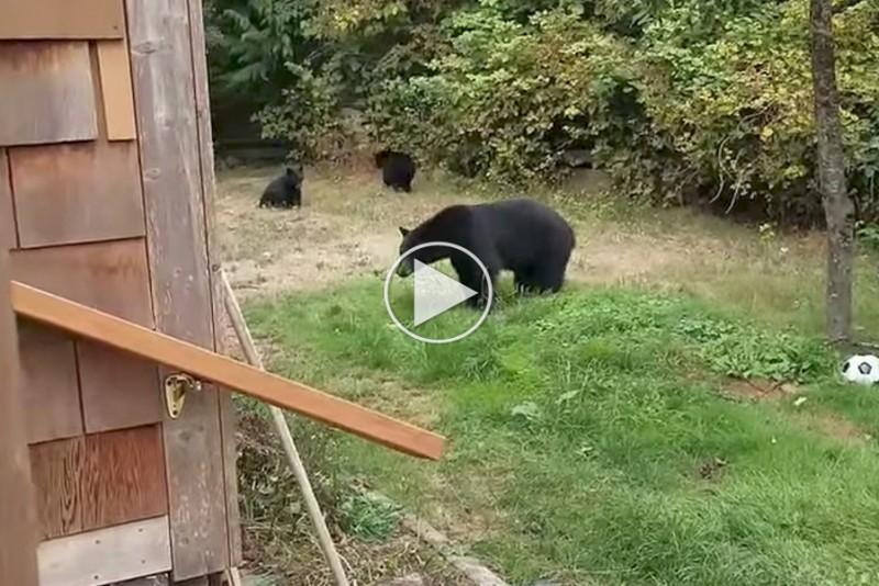 Sådan slipper du af med bjørne i din baghave