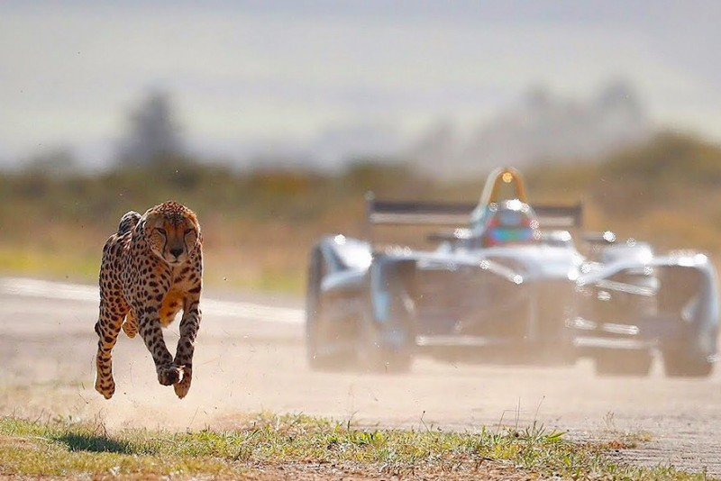 Hvem er hurtigst - En Formel E Racer eller en Gepard?